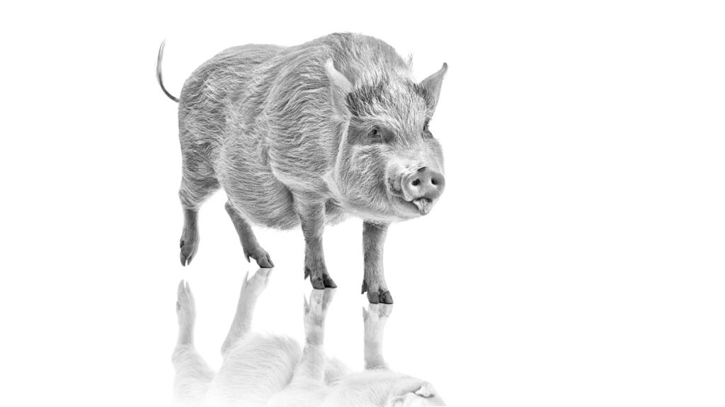 Animal-Pig-Black-and-White-1024x576.jpg