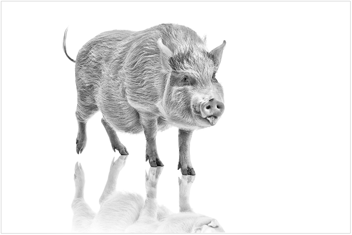 Tater the Pig | Animal Portrait | Excellence